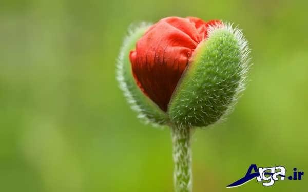 عکس غنچه باز شده گل شقایق