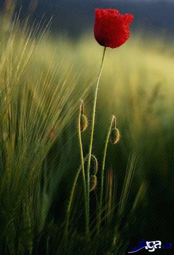 عکسی زیبا از گل شقایق
