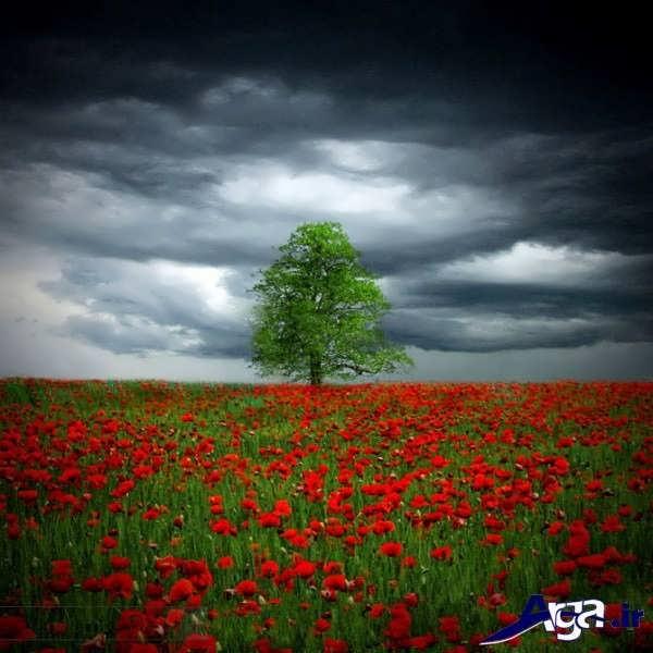عکس دشت های گل شقایق وحشی