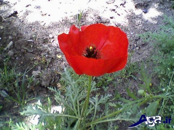 عکس گل شقایق جدید