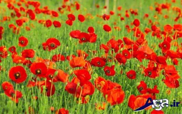 دشت گل شقایق