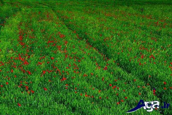 دشت سر سبز گل شقایق