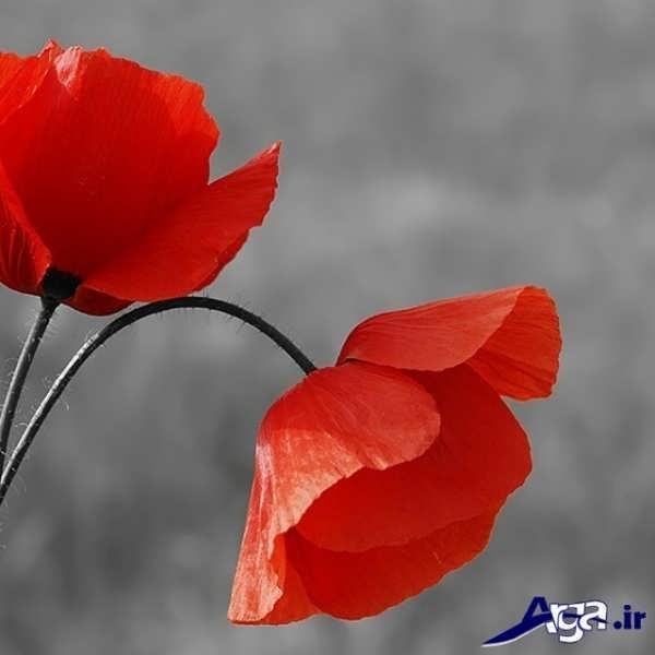 عکس زیبا گل شقایق