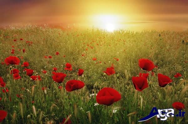 عکس گل شقایق در طلوع آفتاب
