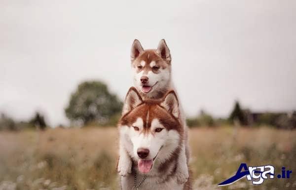 عکس سگ هاسکی قهوه ای