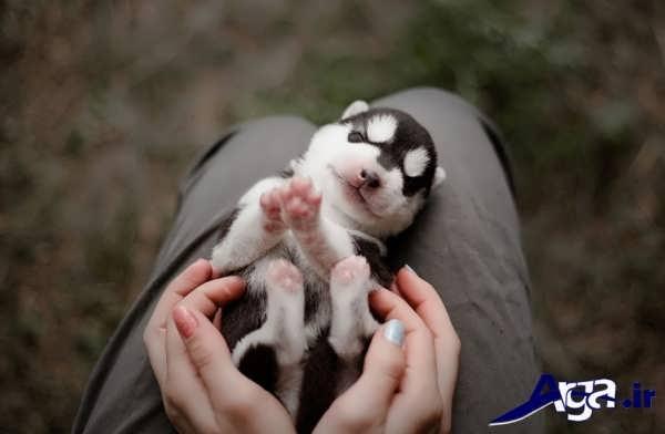 عکس سگ هاسکی سفید سیاه