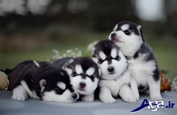 عکس سگ های سیاه و سفید هاسکی