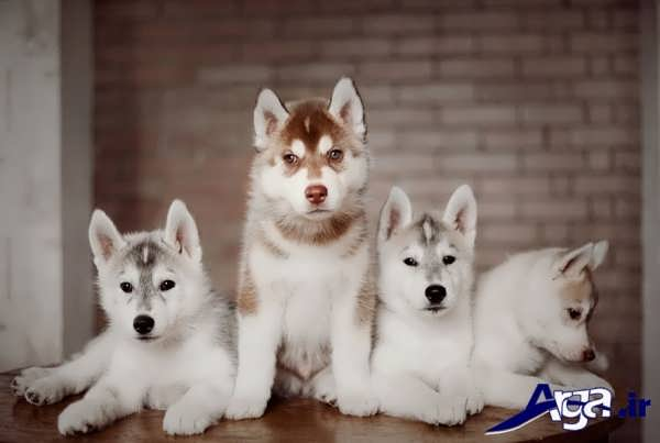 عکس سگ هاسکی در رنگ های مختلف