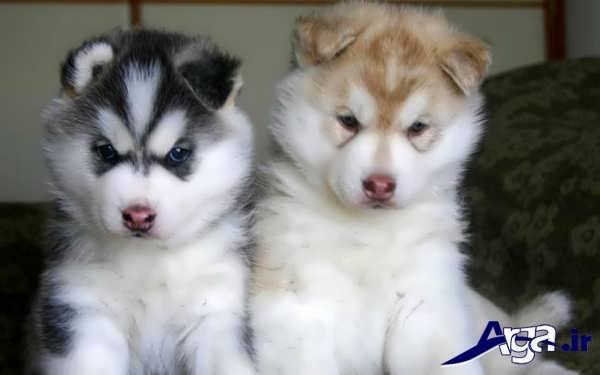 عکس دو سگ هاسکی