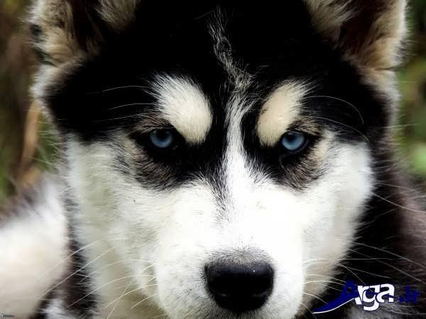 عکس سگ هاسکی چشم آبی