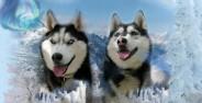 عکس سگ هاسکی زیبا