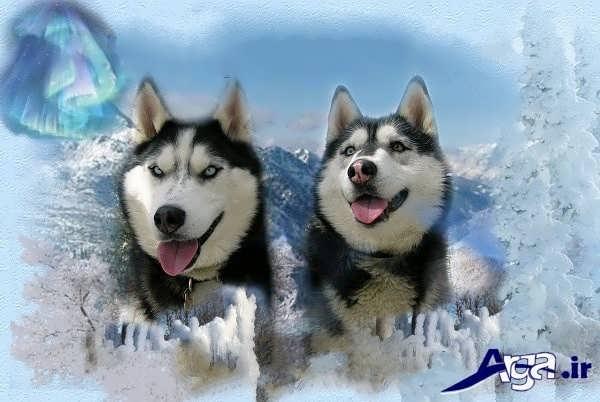عکس سگ هاسکی در برف