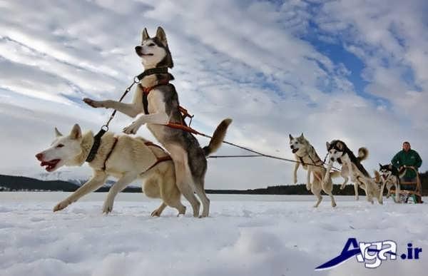 عکس سگ هاسکی آلاسکایی