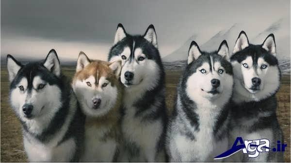 عکس جمعی از سگ های هاسکی
