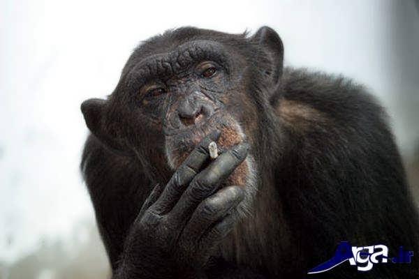 عکس میمون در حال سیگار کشیدن