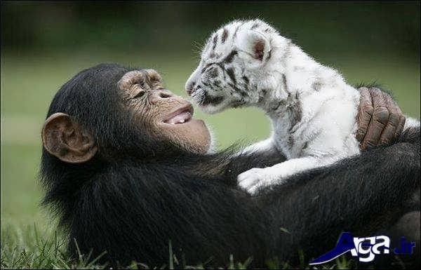 عکس میمون بامزه