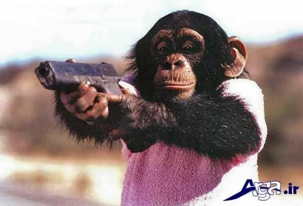 عکس میمون تفنگ به دست