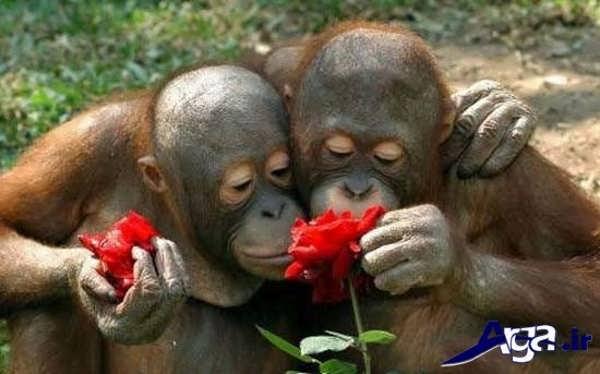 عکس میمون در حال گل بو کردن