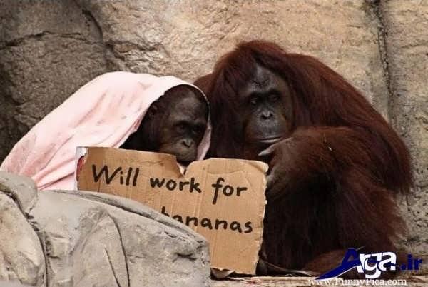 عکس دو میمون جالب