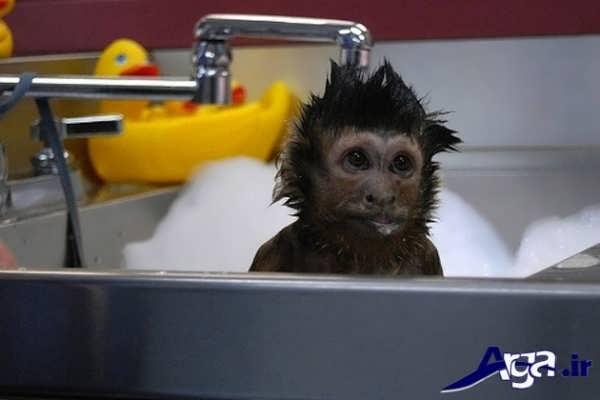 عکس میمون زیر شیر آب