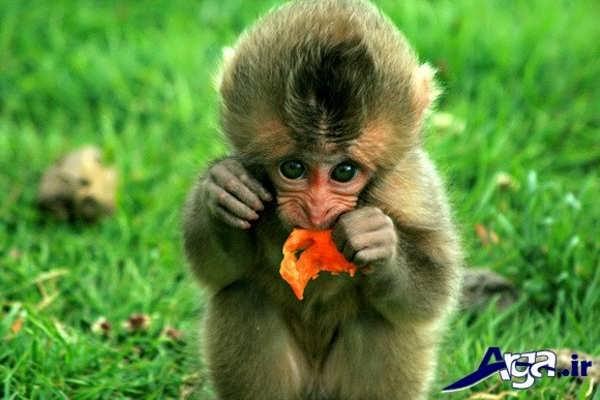 عکس میمون در طبیعت