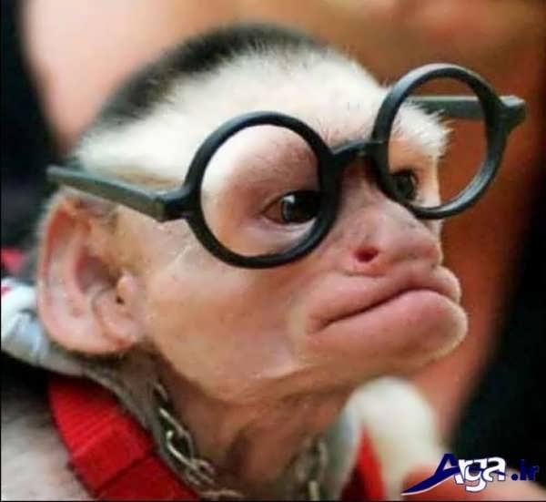 عکس میمون عینکی