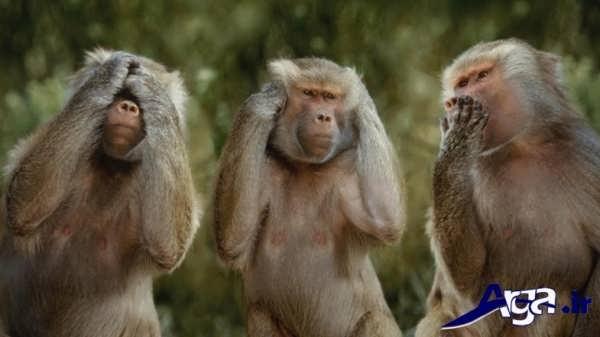 عکس از چند میمون بامزه