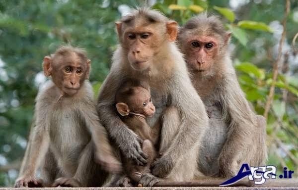عکس میمون و خانواده
