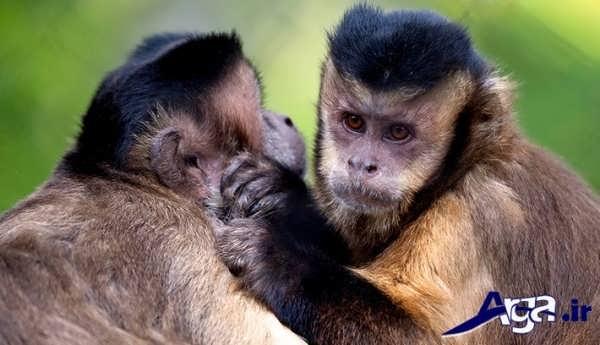 عکس دو میمون دوست داشتنی