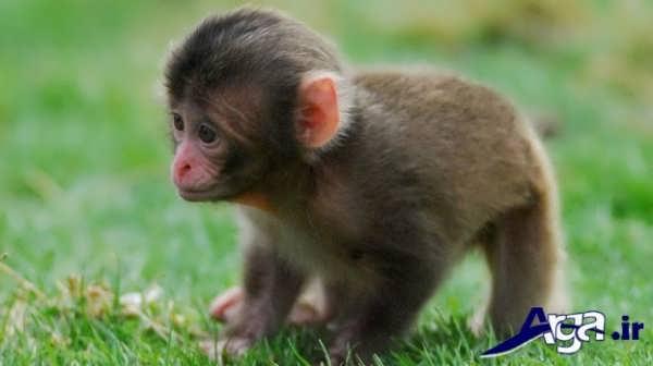 عکس میمون بچه
