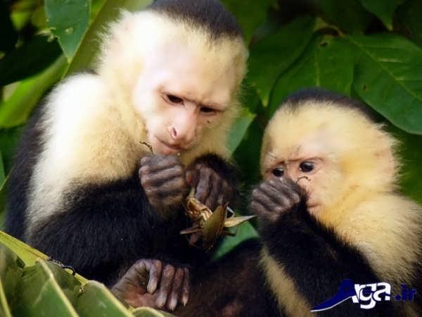 عکس میمون در حال خوردن