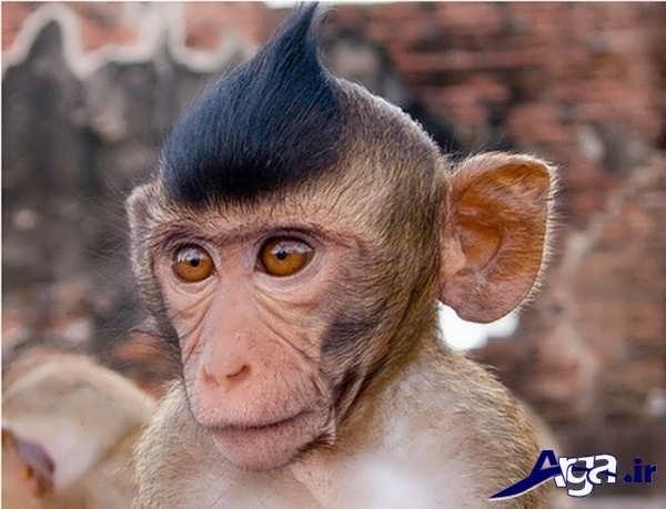 عکس مدل موی میمون