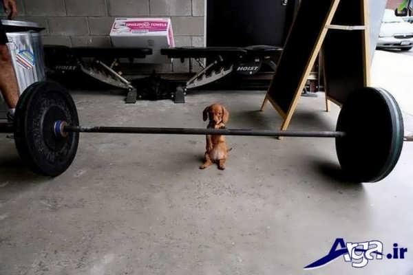 عکس جالب خنده دار سگ وزنه بردار