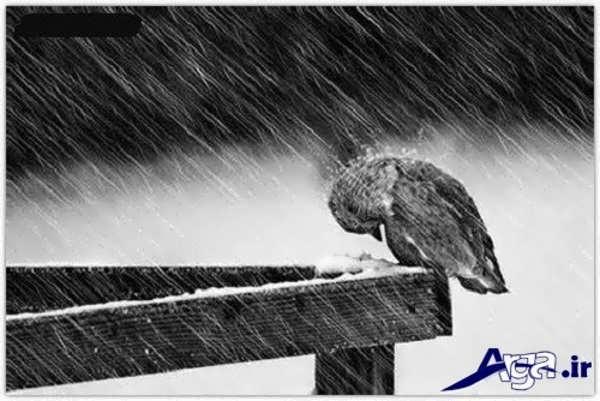 عکس عاشقانه غمگین گنجشک