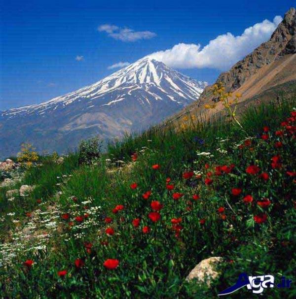 عکس های گل شقایق در طبیعت