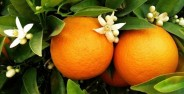 بیماری های قابل درمان با بهار نارنج