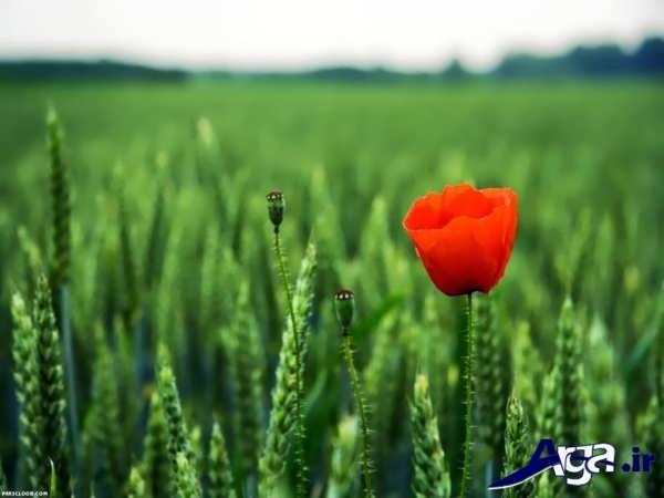 عکسی از گل شقایق