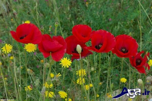 عکس چند گل شقایق
