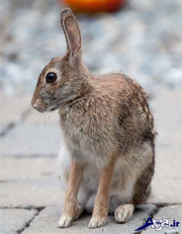 عکس خرگوش قهوه ای