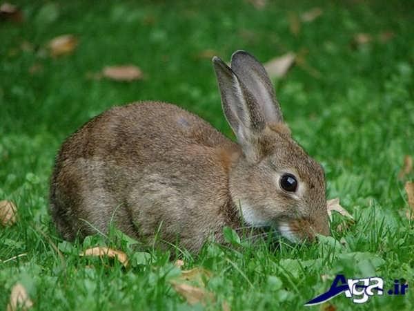 عکس خرگوش در حال علف خوردن