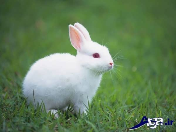 عکس خرگوش سفید زیرک