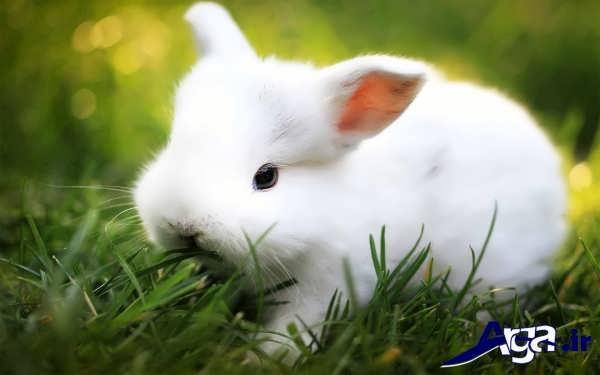 عکس خرگوش کوچک سفید