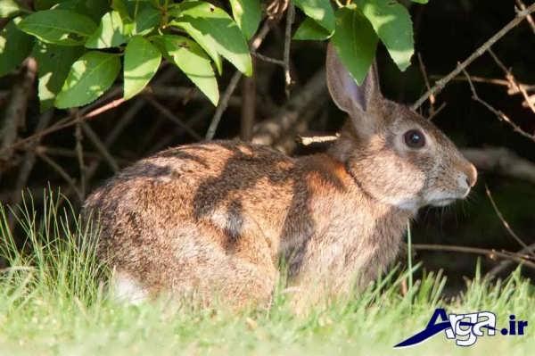 عکس خرگوش اهلی