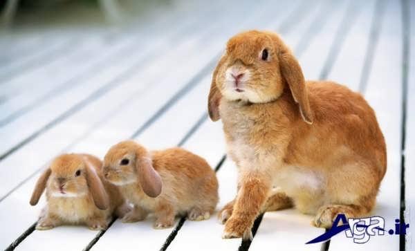 عکس خرگوش و بچه هایش