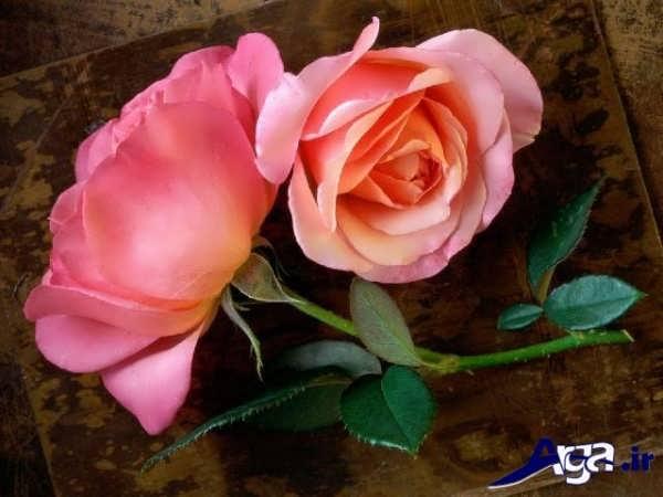 عکس های گل رز صورتی فوق العاده زیبا