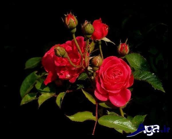 عکس های گل رز و غنچه آن