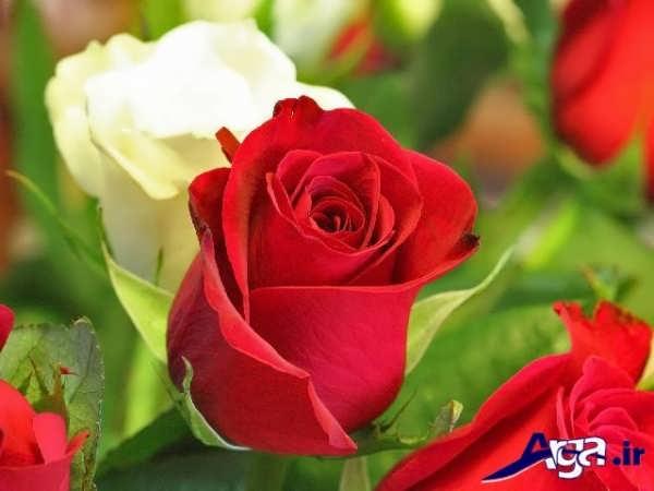 عکس گل رز قرمز به معنای عشق