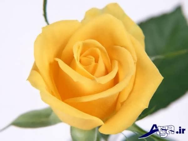 عکس های گل رز زرد فوق العاده زیبا