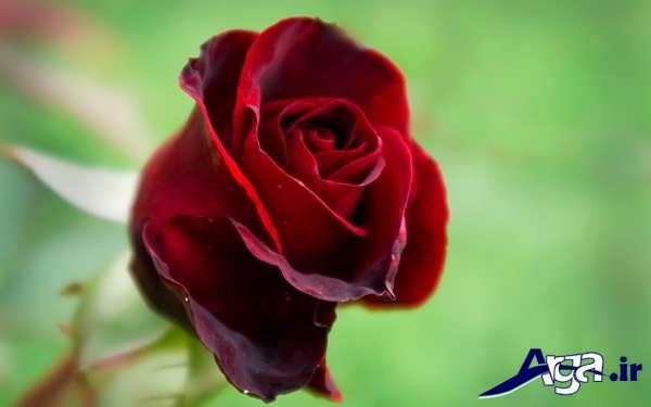 عکس های گل رز قرمز و کبود