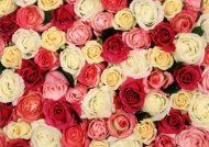 عکس های گل رز زیبا و جذاب